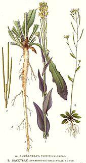 194_Arabidopsis_thaliana,_Turritis_glabra